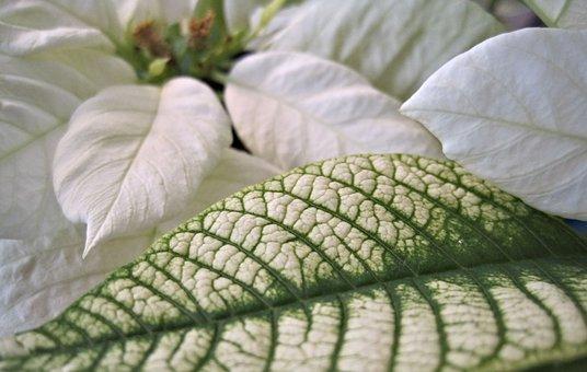 Poinsettia, Leaf, White, Flower, Christmas Flower