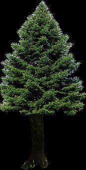 Isolated, Fir Tree, Precious Wood, Christmas, Winter