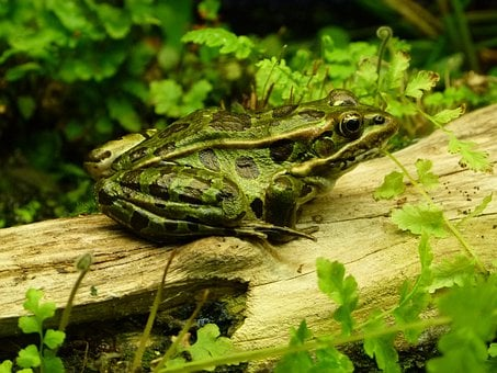 Frog, Jungle, Amphibian, Animal, Creature, Frog Pond