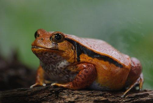 Tomato Frog, Dyscophus Antongilii, Frog, Amphibians