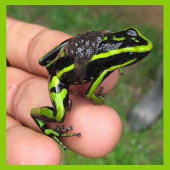 Frog, Amazon, Exotic, Tropical, Amphibian, Animal