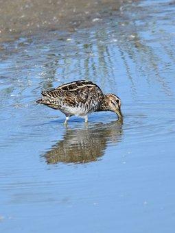Snipe, Bird, Pond, Search Food, Fauna, Nature