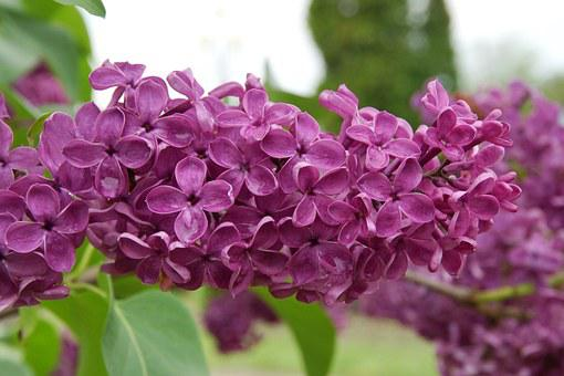 Lilac, Nature, Flowers, After The Rain, Spring