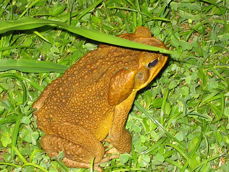 Frog, Night, Amphibian, Close-up, Bermuda, Animal