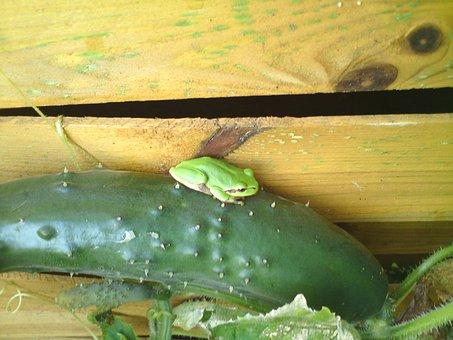 Tree Frog, Frog, Cucumber, Fence, Garden Fence