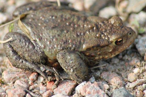 Toad, Animal, Amphibians, Nature, Stones, Frog