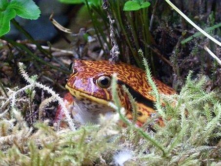 Tomato Frog, Amphibian, Frog Pond, Creature, Close-up