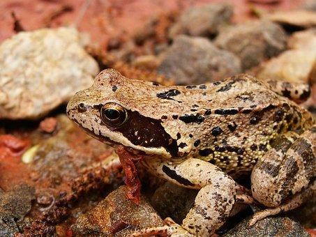 Frog, Animals, Amphibian, Stream Bank, Small Stones
