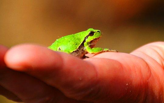 Frog, Tree Frog, Amphibians, Wood, Green, Hand, Small