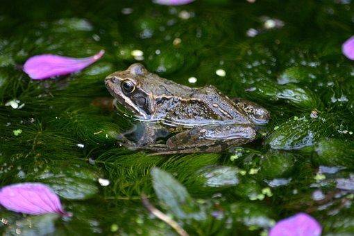 Frogs, Ponds, Green, Water, Animals, Mammals, Aquatic