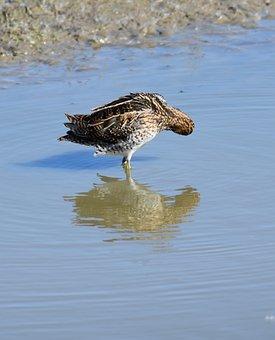 Snipe, Gallinago, Bird, Pond, Search Food, Fauna
