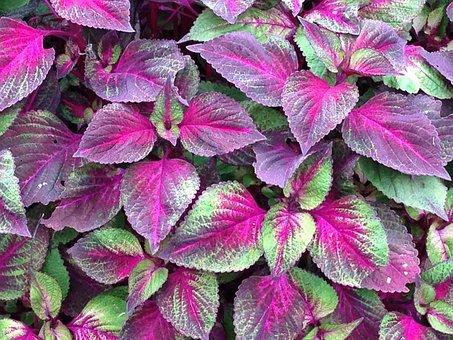 Perilla, Dallas, Leaves, Nature, Plant, Flower, Green