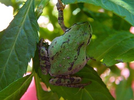 Green, Tree Frog, Frog, Amphibian, Tiny, Animal, Macro