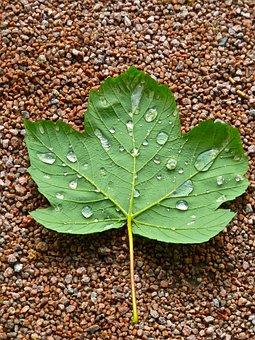 Maple, Leaf, Droplets, Green, Natural, Closeup, Detail