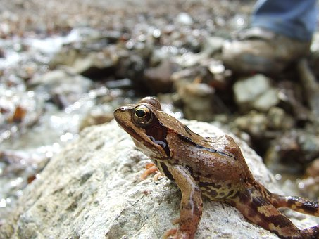 Forest Frog, Mátra Mountains, Stream, Nature, Forest