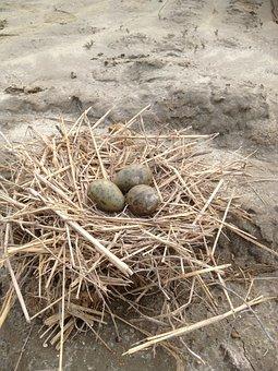 Egg, Nest, Snipe