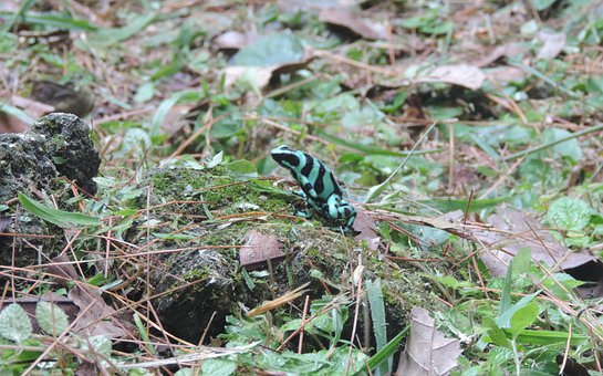 Poison Dart Frog, Frog, Poison Frog, Color Frog, Green