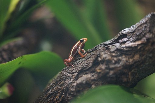 Poison Dart Frog, Poison Frog, Frog, Exotic, Rainforest