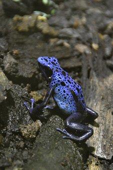 Blue Pfeilgiftfrosch, Poison Dart Frog, Poison Frog