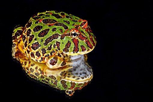 Frog, Macro, Close-up, Portrait, Details, Reflection
