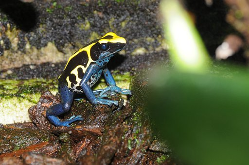 Poison Frog, Froasch, Amphibian, Exotic, Small, Toxic