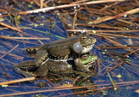 Frog, Frogs, Mating, Amphibian, Amphibians, Wild