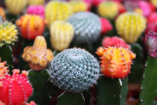 Background, Beautiful, Cactus, Close-up, Colorful