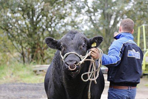 Beef, Bull, Angus, Ear Tag, Livestock, Ruminant