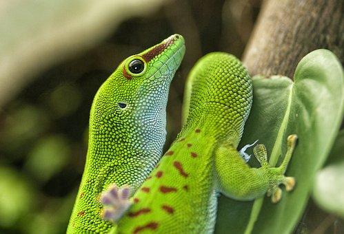 Lizard, Green, Reptile, Phelsuma, Madagascar, Day Gecko
