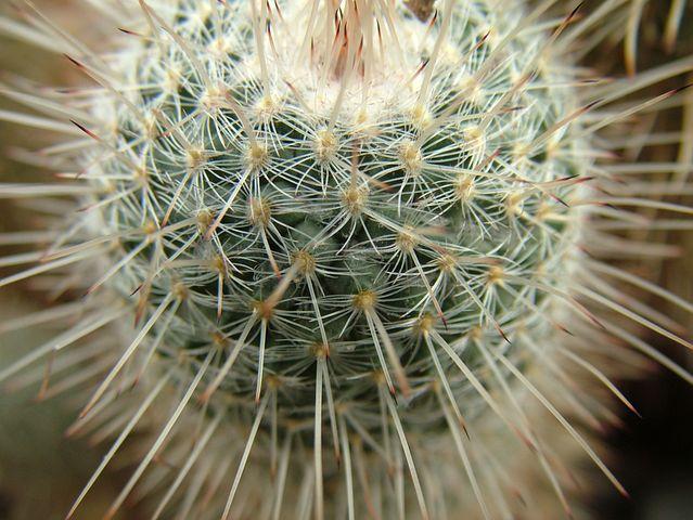 Cactus, Green, Desert, Nature, Plant, Flower, Garden