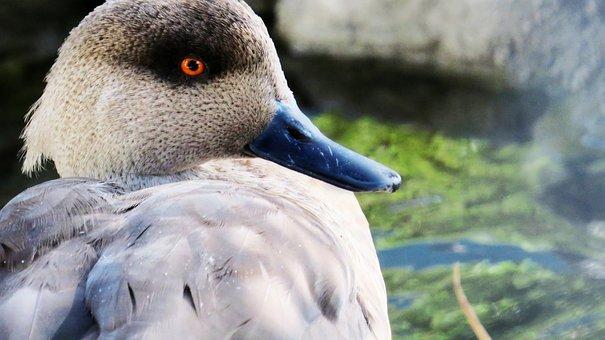 Duck, Ave, Peak, Zoo, Foreground, Pond, Animal