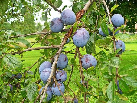 Plum, Fruit, Fruit Growing, Food, Plums On The Tree