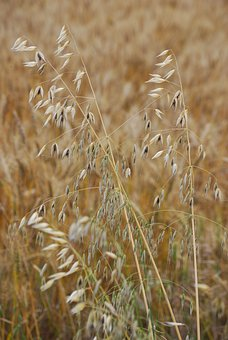 Oats, Avena Sativa, Grain, Plant, Natural, Botanical
