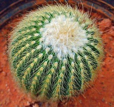 Cactus, Plant, Garden, Green, Nature, Botany, Botanical