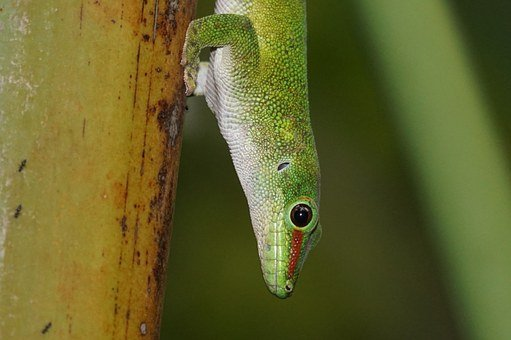 Lizard, Scale, Madagascar Day Gecko, Green