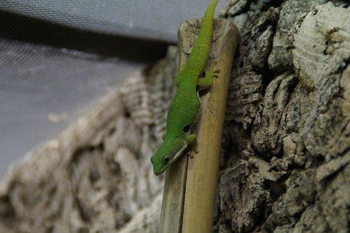 Gecko, Green, Lizard, Reptile, Day Gecko, Climb