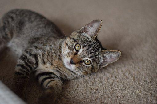 Cat, Lounging, Kitten, Pet, Animal, Fur, Indoor