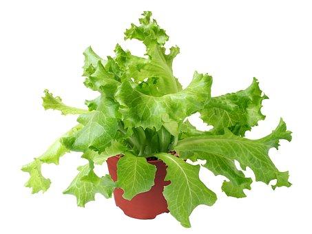 Lactuca, Sativa, Green, Vegetable, Salad, Fresh, Plant