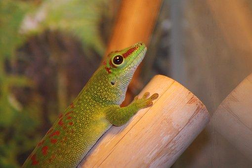 Madagascar Day Gecko, Gecko, Phelsuma Madagascariensis