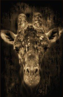 Giraffe, Africa, Zoo, Safari, Animal, National Park