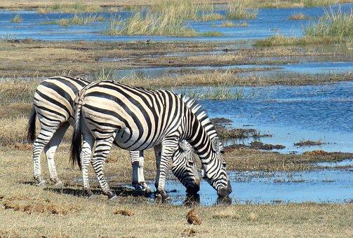 Zebra, Animal, Wild, Wildlife, Safari, Africa, Botswana