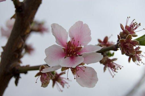 Cherry Tree, Tree, Cherry Blossom, German Wine Route