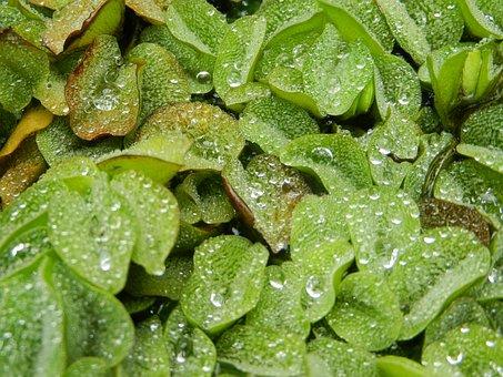 Foliage, Leaf, A Drop Of, Drops, Rosa, Dew Drops, Water