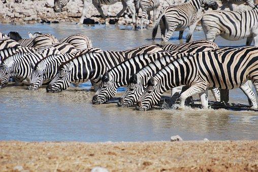 Zebra, Drinking, Safari, Nature