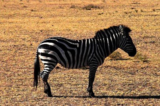 Wildlife, Zebra, Tanzania, Nature, Africa, Animal