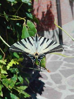 Butterfly, Summer, Ali, Moth, Papilionidae, Fly, Zebra