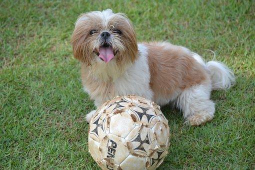 Shih Tzu, Animal, Ball, Grass, Dog, Domestic Animals
