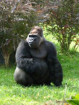 Gorilla, Zoo, Animal, Catwalk, Black, Mammal, Gorillas