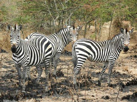 Zebras, Flock, Curious, Uganda, Stripes, Animals