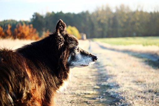 Dog, Border Collie, Herding Dog, Hoarfrost, Away, Field
